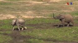 Os Elefantes da Floresta centro-Africana