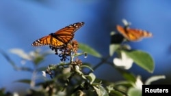 Kupu-kupu Monarch hinggap di dahan di Monarch Grove Sanctuary di Pacific Grove, California, 30 Desember 2014.
