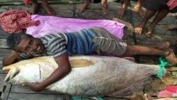 ভারতের প্রত্যন্ত সুন্দরবনের কপূরা নদীতে ধরা পড়াবিশালাকৃতির তেলেভোলামাছ - ফটো- দ্য ওয়াল