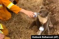 Avustralya'daki çalı yangınlarında yaban hayatı da büyük zarar gördü.