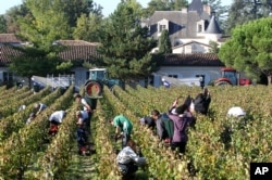 FILE - Workers collect red grapes in the vineyards near Bordeaux, France.