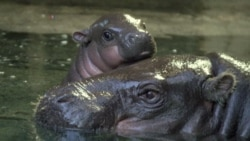 Britain's Bristol Zoo Welcomes Baby Pigmy Hippo