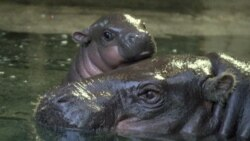Britain's Bristol Zoo Welcomes Baby Pigmy Hippo