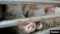 Po prvi put u Srbiji je potvđena afrička kuga svinja, Foto: ilustracija, REUTERS/Jo Yong-Hak