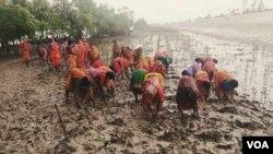 সুন্দরবনে গ্রামের মহিলারা দলবেঁধে ম্যানগ্রোভের চারা লাগানোর কাজে লেগেছেন