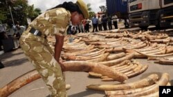 FILE - A Kenya Wildlife Service officer holds an elephant ivory tusk as they are displayed outside the Port of Mombasa's police station, Kenya, July 9, 2013.