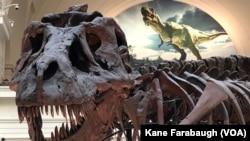 """""""Sue"""" el Tiranosaurio Rex en su actual lugar de exposición en el Stanley Field Hall del Museo Field en Chicago."""