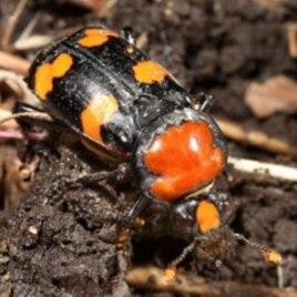 A female American burying beetle (Nicrophorus americanus)