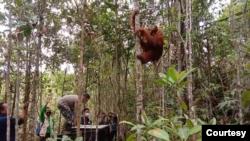Orangutan Tapanuli saat dilepasliarkan di Cagar Alam Dolok Sipirok, Tapanuli Selatan, Sumut. Senin 23 November 2020. (Courtesy: BBKSDA Sumut)