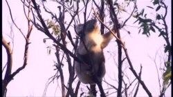 澳大利亚考拉太多树不足