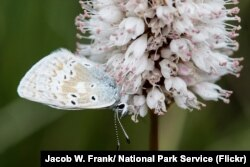 A butterfly on a bistort plant in Rocky Mountain National Park