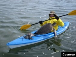 Allen M. Foley, Ph.D., wildlife biologist at the Florida Fish and Wildlife Conservation Commission, rescues sea turtles in a kayak in St. Joseph Bay. (Courtesy Photo)