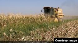 FILE - Corn is harvested in a field outside Raqqa, Syria, under Islamic State control, Oct. 23, 2016. (Credit: Dawa al-Haq)
