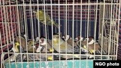 Uhvaćene ptice (Foto: Društvo za zaštitu i proučavanje ptica Srbije)