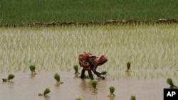 یک زن هندی در حال کاشتن نهال برنج در شالیزار پس از باران های موسمی در حومه پوری (ايالت اوریسا) -۳۰ مردادماه ۱۳۹۳