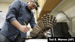 In this photo taken in the early morning hours of Oct. 24, 2018, wildlife technician Jordan Hazan records data in a lab in Corvallis, Ore., from a male barred owl he killed earlier in the night.