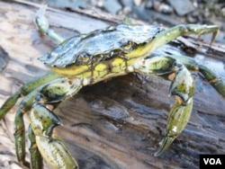 The invasive European green crab is tearing down ecosystems in Newfoundland and building them up on Cape Cod. (Brent Wilson/VOA)