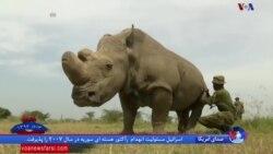 مرگ «سودان»، آخرین کرگدن سفید شمالی