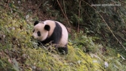 US, Chinese Scientists Work Together to Reintroduce Pandas to Wild