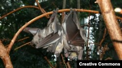 Straw-colored fruit bats rest together at Berlin's Zoological Garden.