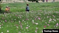 10일 한국 강원도 춘천시 캠프페이지 터에 코스모스가 만개해 성큼 다가온 가을을 전하고 있다.
