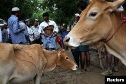 روہنگیا پناہ گزین عیدالاضحی پر قربانی کے لیے گائے خرید رہے ہیں۔ 21 اگست 2018