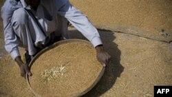 Pakistanski radnik prosejava pšenicu