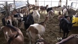 Small American Farms Struggling to Survive