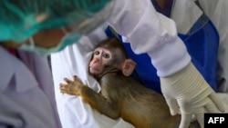 Seorang petugas memeriksa seekor anak monyet di Pusat Riset Primata di Universitas Chulalongkorn, Thailand (foto: ilustrasi). Thailand mulai menguji coba vaksin Covid-19 pada monyet Sabtu (23/5).