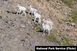 Dall sheep in Wrangell-St. Elias National Park