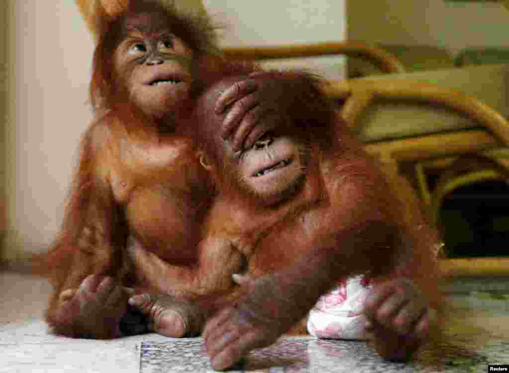 Two baby orangutans play with each other at the wildlife department in Kuala Lumpur, Malayasia. The Malaysian wildlife department seized two baby Sumatran orangutans in July, found in duffel bags, from traffickers who were attempting to sell them to buyers in Malaysia.