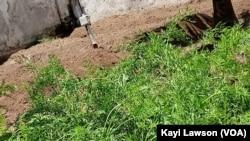 Le capteur dans un potager de carotte, Lomé, le 3 septembre 2019. (VOA/Kayi Lawson)