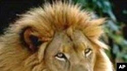 بھارت : ایشائى ببر شیروں کی آبادی میں اضافہ