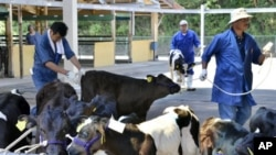 Calves arrive at a dairy cattle market to be put up for auction in Motomiya, Fukushima prefecture, 50 kms west of the stricken Fukushima Daiichi nuclear power plant, July 14, 2011