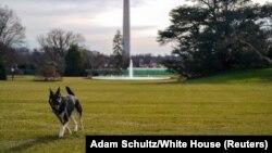 Фото: Мейджор, один із собак подружжя Байденів, на Південній галявині Білого дому