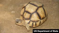 Ploughshare Tortoise Thomas Leuteritz/USFWS