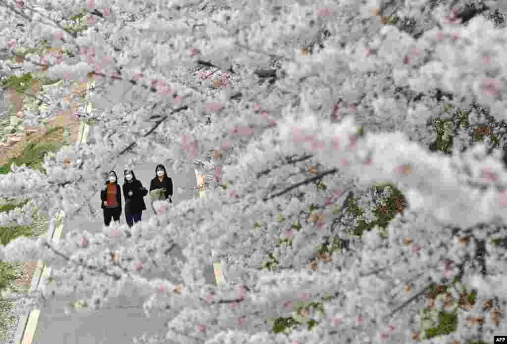 Visitors walk under cherry blossoms in full bloom at a park in Seoul.