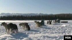 Kanada: Saonice koje vuku psi-sport koji dobija na popularnosti