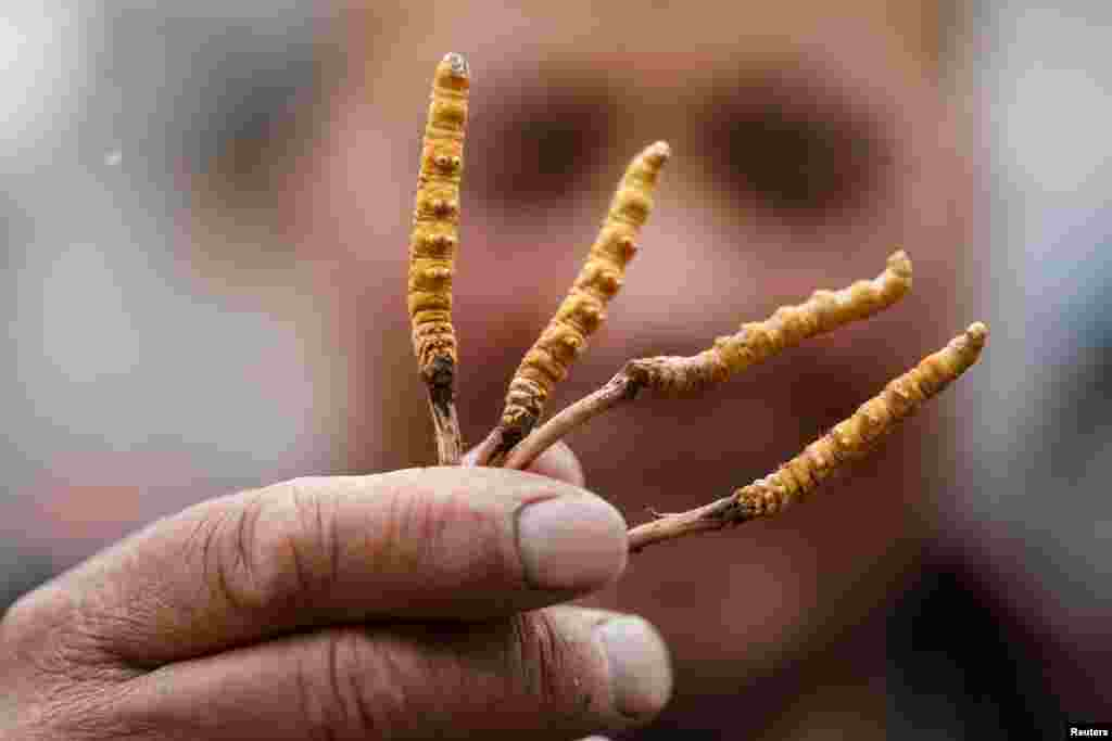 A picker shows cordyceps, fungi believed to possess aphrodisiac and medicinal powers, that he collected on a mountain in the Amne Machin range in China's western Qinghai province.