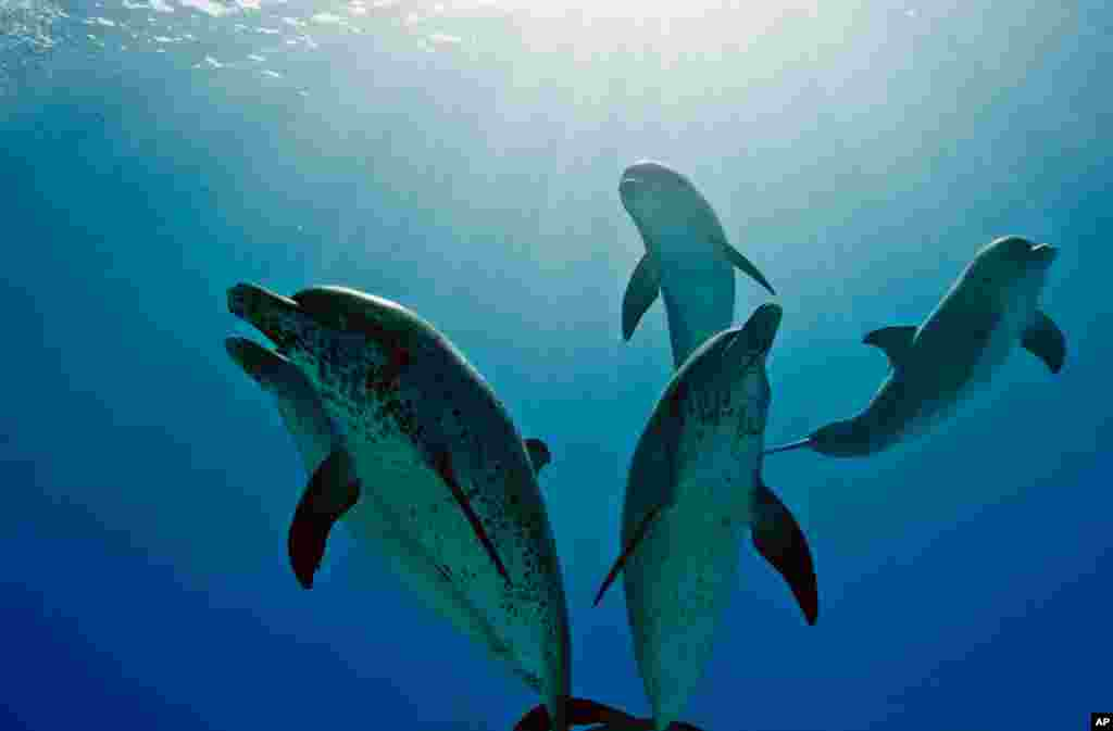 Coral reefs are responsible for keeping water quality high for these spotted dolphins. (Photo: McNicholas/Cresswell)