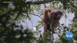 อุรังอุตังตาปานูลีเสี่ยงสูญพันธ์จากการสร้างเขื่อนในสุมาตราเหนือ