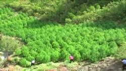 Shqipëri shtohen sipërfaqet me drogë