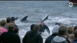Традиция, которая убивает: фильм Майка Дэя «Острова и киты» о китовом промысле на Фарерских островах
