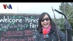 Memotong Pohon Natal Sendiri di AS - VOA untuk Friends