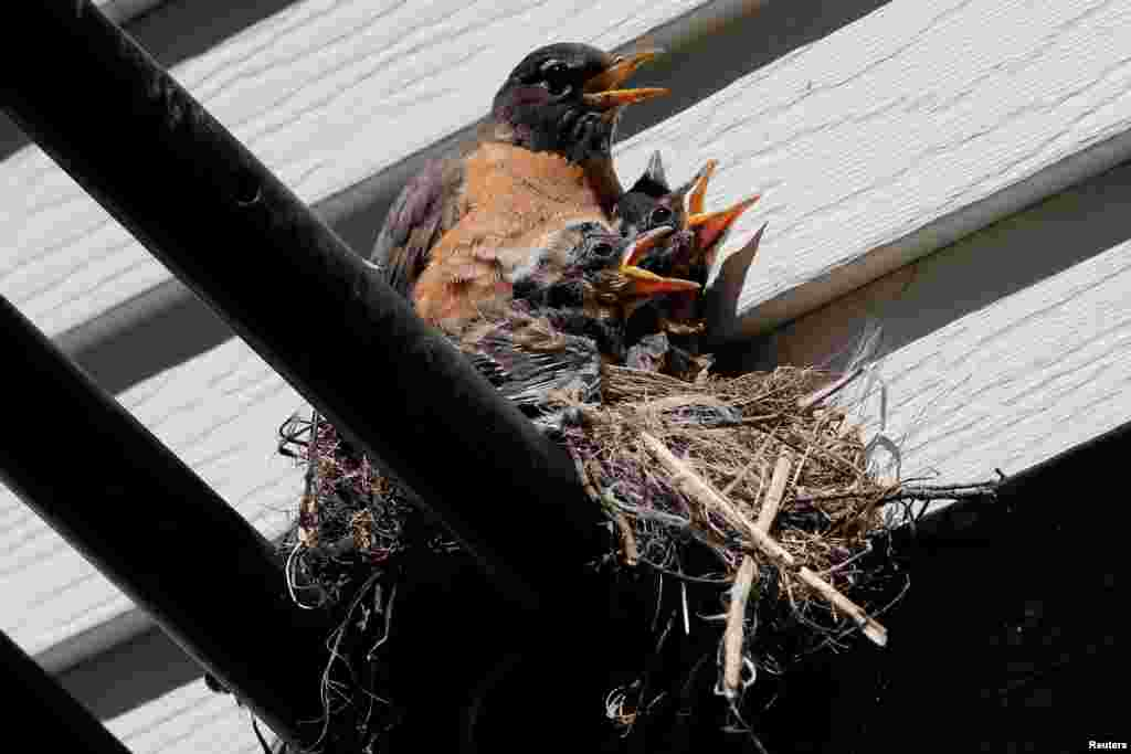 A Robin protects her young chicks in their nest in Nyack, New York.