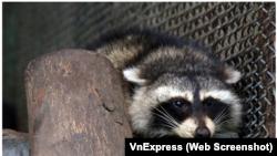 """Con gấu mèo tại Thảo Cầm Viên Sài Gòn sau khi được """"cứu hộ"""" từ một container đông lạnh chuyển từ Mỹ tới TPHCM. (Ảnh chụp mành hình VnExpress)"""