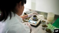 FILE - A technician works at Tikkun Olam medical cannabis farm, near the northern Israeli city of Safed, Israel, Nov. 1, 2012.