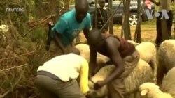 Nông dân Kenya đầu tư nuôi cừu phát triển ngành len