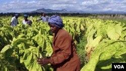 Petani di Zimbabwe sedang memanen daun tembakau.