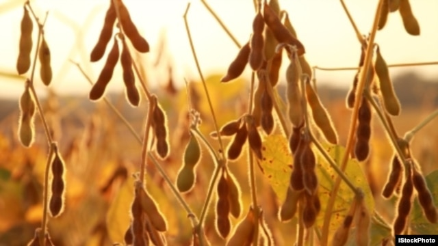 Picture of soybean plants